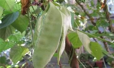白扁豆有什么功效与作用 白扁豆的功效与作用