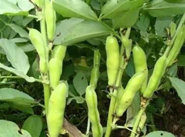 蚕豆有什么作用和功效 蚕豆的功效与作用2021