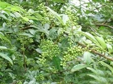 花椒根有什么作用 花椒根的功效与作用